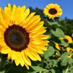 Sonnenblume ©ulleo/Pixabay.com